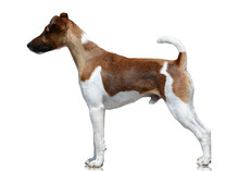 Smooth Fox Terrier Stand Isolated On White Background