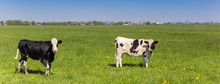 Panorama Of Dutch Holstein Cows