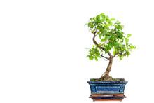Sagaretie Bonsai In Blue Bowl