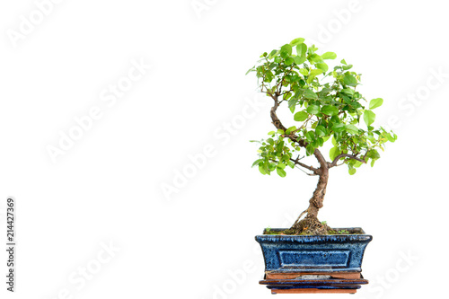 sagaretie bonsai in blue bowl