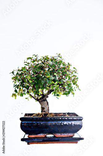 In de dag Bonsai Chinese elm bonsai in blue bowl