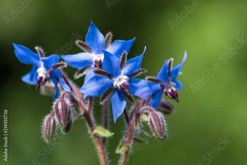 La pose en embrasure Condiment Beautiful blue eatable flowers and hairy stems of borage. Selective focus.