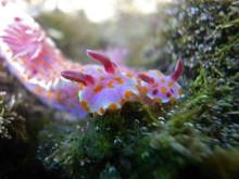 Clown Nudibranch Ceratosoma Am...