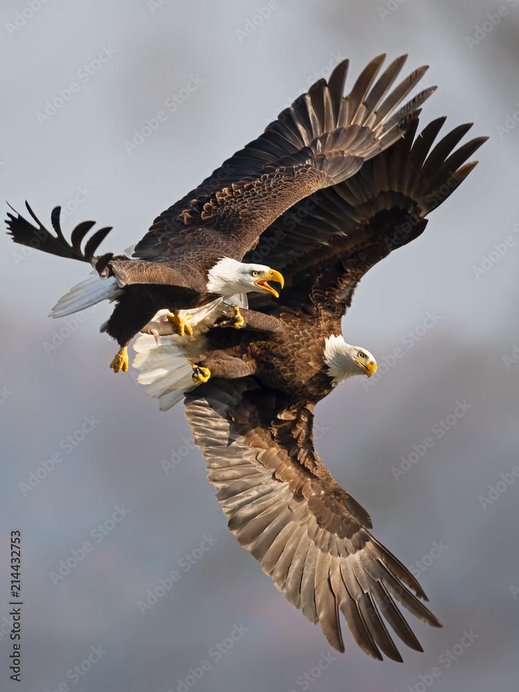 Bald Eagles Battle for Fish