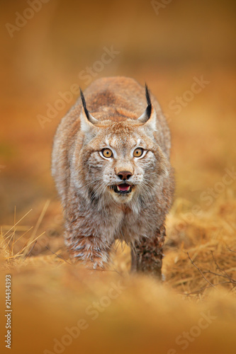 Fototapeta premium Lynx in green forest. Wildlife scene from nature. Walking Eurasian lynx, animal behaviour in habitat. Wild cat from Germany. Wild Bobcat between the trees. Hunting carnivore in autumn grass.