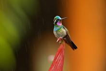 Purple-throated Mountain-gem, Lampornis Calolaemus, Hummingbird From Costa Rica. Violet Throat Small Bird From Mountain Cloud Forest In Costa Rica. Wildlife In Tropic Nature.