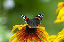 Butterfly Vanessa Atalanta, Si...