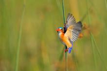 Kingfisher With Beautiful Evening Sun. Malachite Kingfisher, Alcedo Cristata, Detail Of Exotic African Bird Sitting On The Branch In Green Nature Habitat, Botswana, Africa.