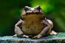 Cane Toad, Rhinella Marina, Bi...