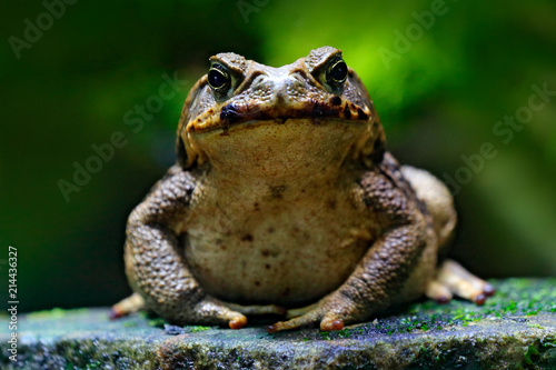 Spoed Foto op Canvas Kikker Cane toad, Rhinella marina, big frog from Costa Rica. Face portrait of large amphibian in the nature habitat. Animal in the tropic forest. Wildlife scene from nature.