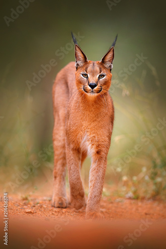 Naklejka premium Karakal, ryś afrykański, w zielonej trawie. Piękny dziki kot w siedlisku przyrody, Botswana, RPA. Zwierzę chodzące twarzą w twarz po żwirowej drodze, Felis caracal.