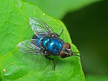 Macro Photo Of Blue Bottle Fly...