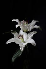 Fleurs De Lys Blanc