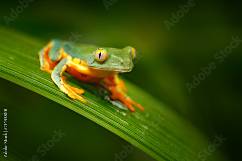 Golden-eyed leaf frog, Cruziohyla calcarifer, green yellow frog sitting on the leaves in the nature habitat in Corcovado, Costa Rica. Amphibian from tropic forest. Wildlife in Central America.