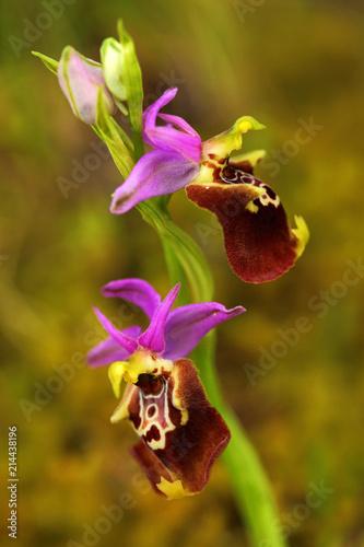 Staande foto Lente Ophrys apulica, Apulian Ophrys, Gargano in Italy. Flowering European terrestrial wild orchid, nature habitat. Beautiful detail of bloom, spring scene from Europe.