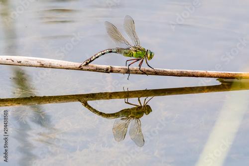große Königslibelle auf einem Ast im Wasser