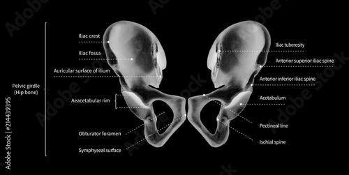 Infographic diagram of human hip bone or pelvic girdle anatomy ...