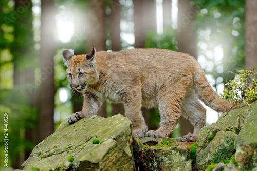 Fototapeta premium Puma concolor, znana jako lew górski, pantera, w zielonej roślinności w Meksyku. Scena dzikiej przyrody z natury. Niebezpieczny Cougar siedzący w zielonym lesie ze skałą, piękne tylne światło.