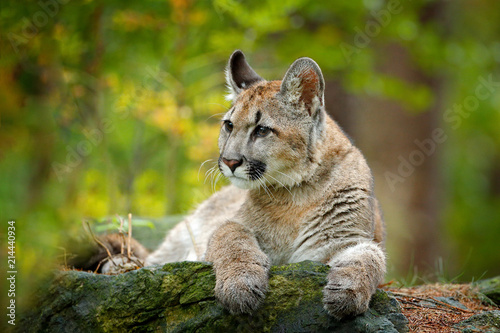 Foto op Canvas Puma Wild danger animal in green vegetation. Big cat Cougar, Puma concolor, hidden portrait of dangerous animal with stone, USA. Wildlife scene from nature.