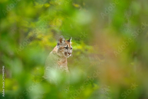 Cougar, Puma concolor, in the nature forest habitat, between trees, hidden portrait of dangerous animal from USA. Wild mammal mountain lion hidden in the green vegetation.