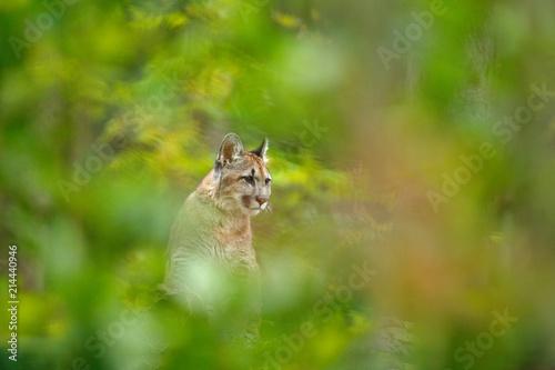 Fototapeta premium Cougar, Puma concolor, w naturalnym środowisku leśnym, między drzewami, ukryty portret niebezpiecznego zwierzęcia z USA. Lew górski dzikiego ssaka ukryty w zielonej roślinności.