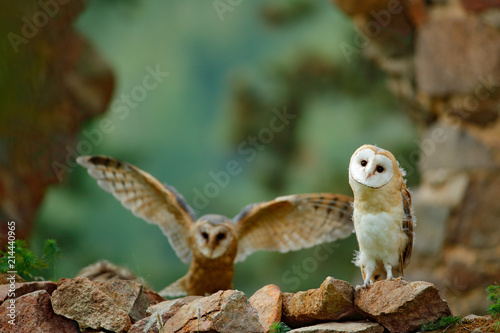 Pair of owls on the stone wall. Two Barn owl, Tyto alba, with nice wings flying above stone wall, light bird landing in the old castle, animal in the urban habitat, United Kingdom.