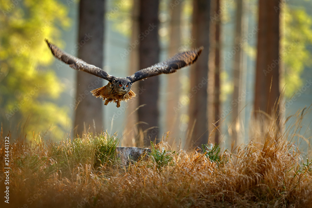 Owl in forest habitat, tree stump. Flying Eurasian Eagle Owl with open wings, action wildlife scene from nature, Germany. Dark forest with bird.