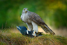Animal Behaviour In The Forest. Bird Of Prey Goshawk With Killed Eurasian Magpie In The Grass In Green Forest. Wildlife Scene From Nature, Germany, Europe.