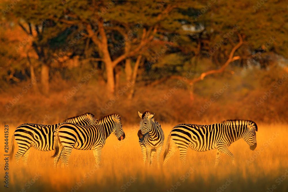 Fototapety, obrazy: Plains zebra, Equus quagga, in the grassy nature habitat with evening light in Hwange National Park, Zimbabwe. Sunset in savanah. Animals with big trees.