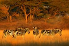 Plains Zebra, Equus Quagga, In...