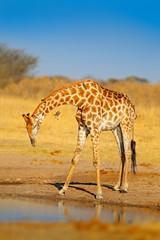 Giraffe drinking water from the lake, evening orange light, big animal in the nature habitat in Botswana, Africa. Big African animal with blue sky.