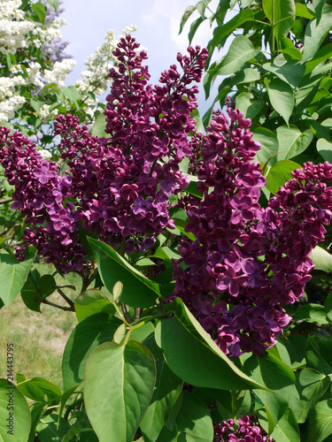 Foto op Plexiglas Lilac A magnificent branch of lilac with bright petals and juicy green leaves. A charming smell that always attracts if you pass nearby.