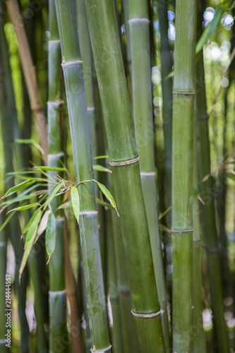 In de dag Bamboo Forêt de bambous en France
