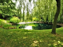 Reflections In A Garden Pond With An Overhanging Weeping Willow Tree In Summer