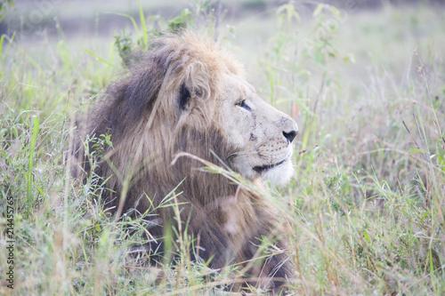 Zdjęcie XXL Afrykański lew wyglądający potężnie w swojej dumie w Afryce