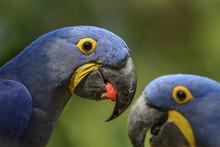Hyacinth Macaw - Anodorhynchus...