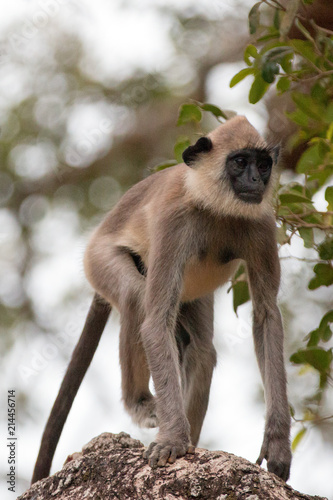 Photo  Grey Langur Monkey in Wilpattu National Park in Sri Lanka Asia