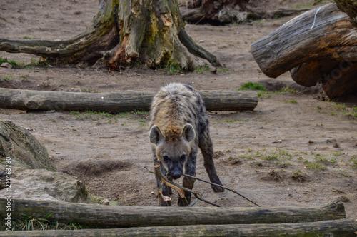 Foto op Plexiglas Hyena Hyäne spielend