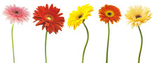 Big Selection Of Colorful Gerbera Flower (Gerbera Jamesonii) Isolated On White Background. Various Red,  Yellow, Orange, Pink