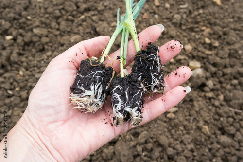 Leek plug plants held in the palm of the hand against a soil background