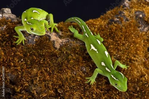 Naklejka premium Nowozelandzkie zielone gekony (Naultinus elegans)