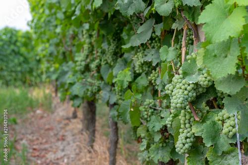 Fotografía  Weinreben voller grüner unreifer Weintrauben im Sommer im Weinberg
