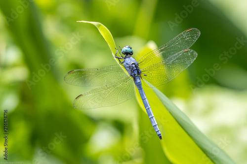 Portrait of dragonfly - Marsh Skimmer (Orthetrum luzonicum)