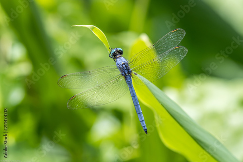Portrait of dragonfly - Marsh Skimmer (Orthetrum luzonicum)