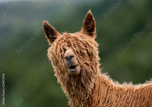 Cadres-photo bureau Lama Alpaca
