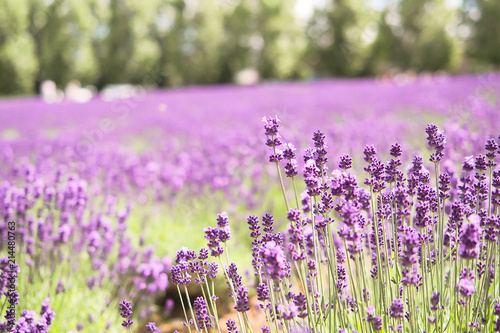 Foto auf AluDibond Rosa hell Violet lavender blooming fields in furano, hokaido, japan.Closeup focus ,flowers background.