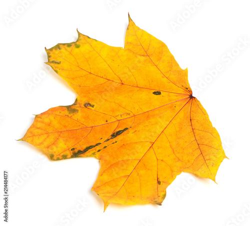 Yellow autumn maple-leaf