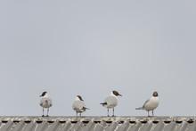Four Black-headed Gulls Standing On Roof