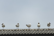 Five Black-headed Gulls Standing On Roof