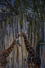 Giraffen Freunde